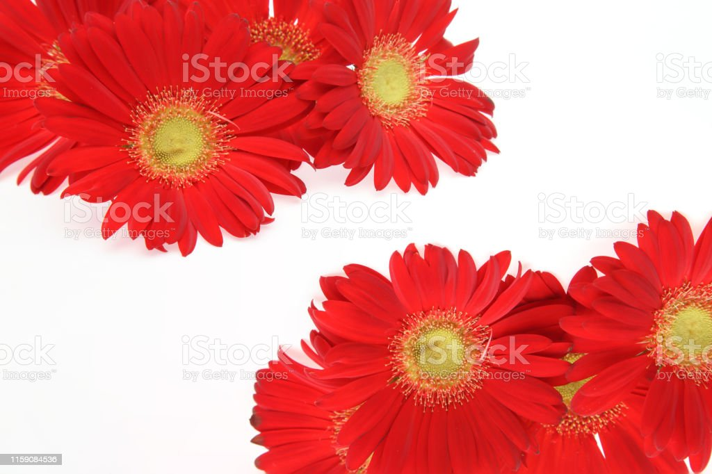 Pictured flower head of transvaal daisy in a white background.