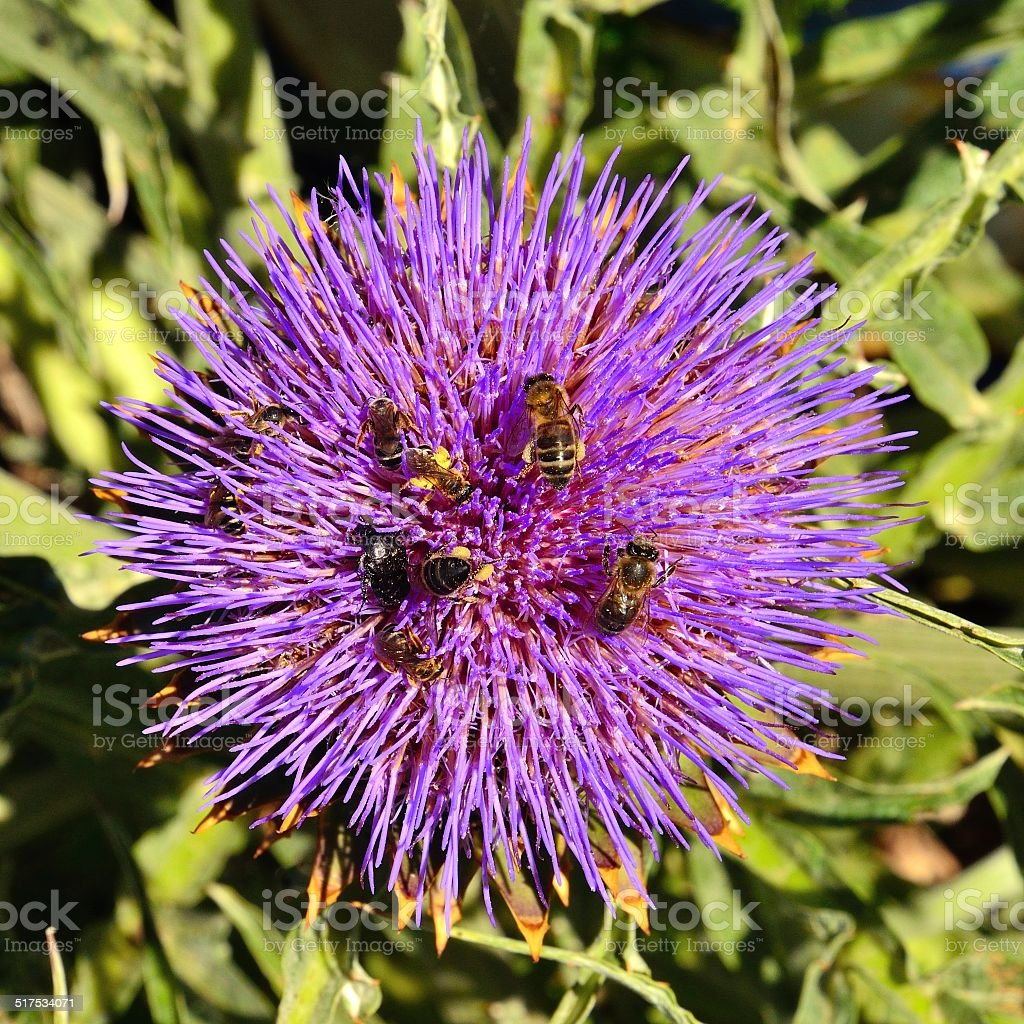 Flower head of wild artichoke with many bees and insects stock photo
