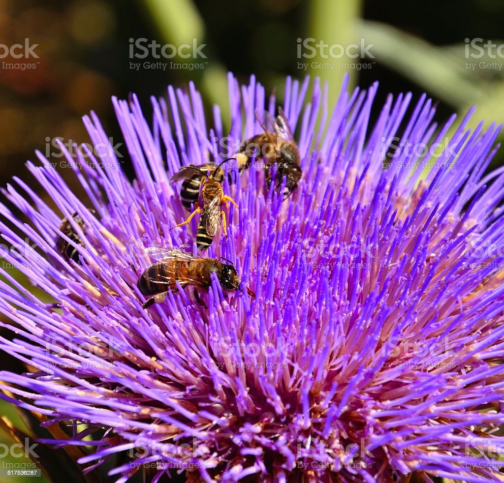 Flower head of wild artichoke with several wasps and bees stock photo