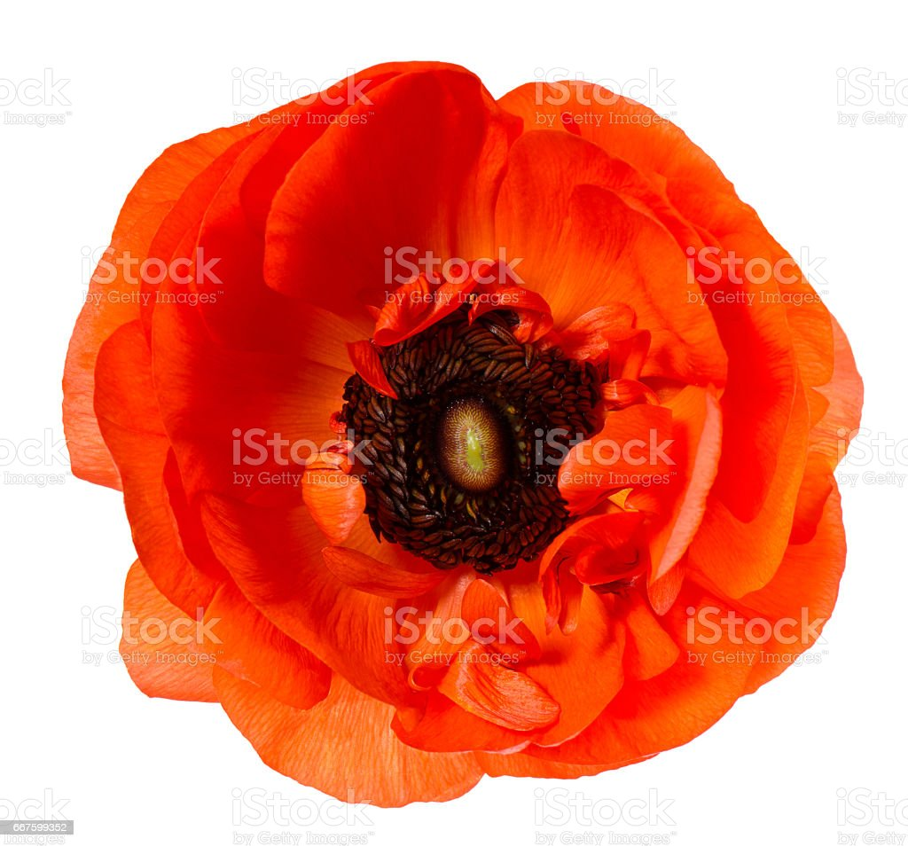 Flower head Poppy Red anemone isolated white background stock photo