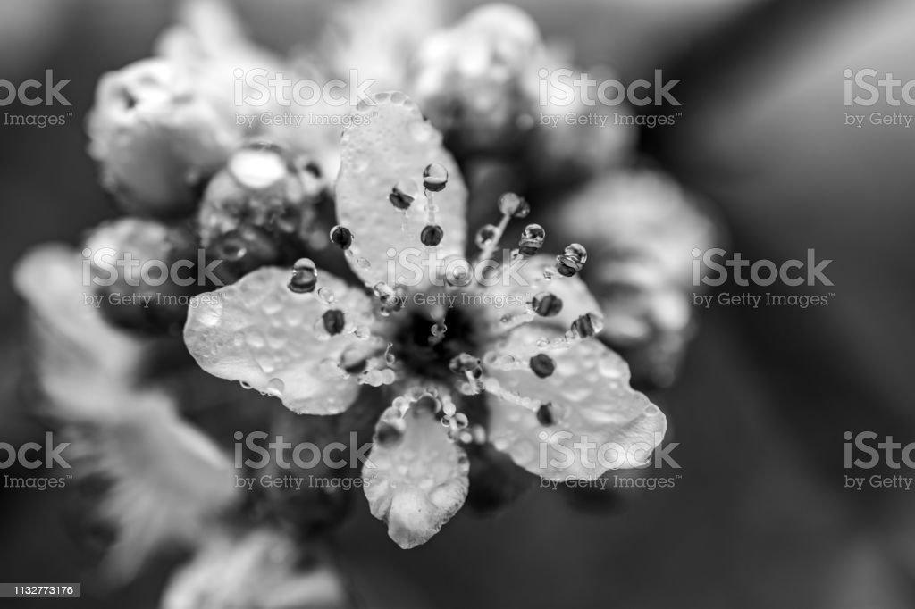 flower head with dew drops monochrome stock photo