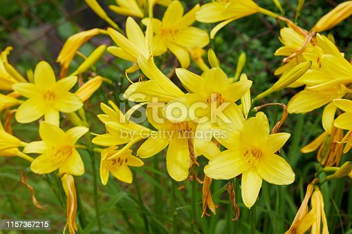 Plenty of branches of flower Hemerocallis lilioasphodelus (also called Lemon Lily, Yellow Daylily, Hemerocallis flava). Hemerocallis flava Known also as Lemon day-lily, Lemon Lily and Custard Lil