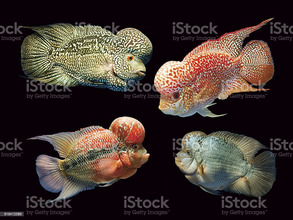 Flower Horn Fish Isolated On Black Stock Photo & More Pictures of ...