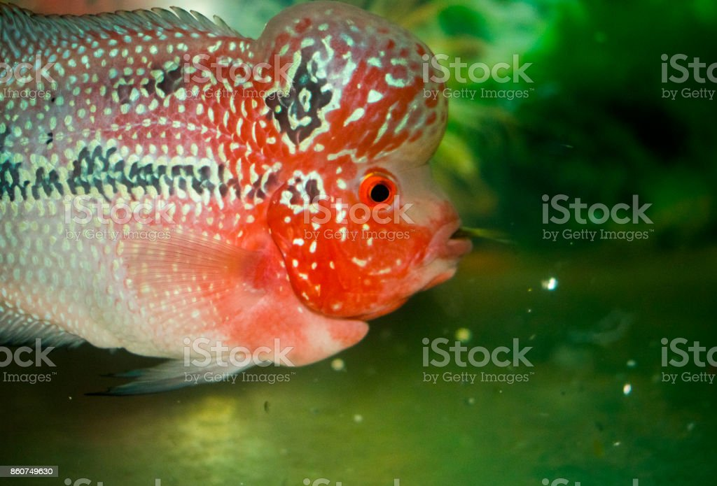 Flower Horn Fish Pink White Red Water Aquarium Close Up Mouth