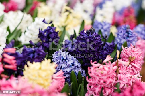istock Flower Hyacinth. Exhibition in the Botanic Gardens of Moscow State University