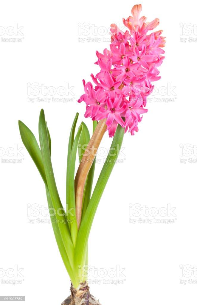 흰색 배경에 고립 된 꽃 히 아 신 스 - 로열티 프리 4월 스톡 사진