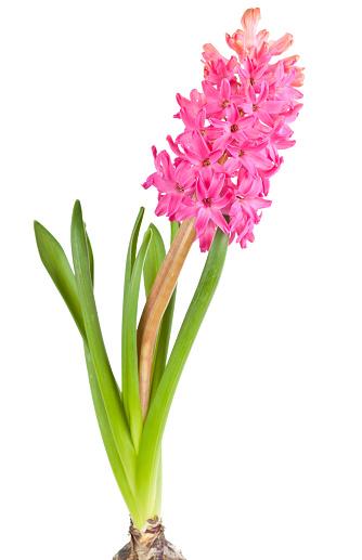 흰색 배경에 고립 된 꽃 히 아 신 스 4월에 대한 스톡 사진 및 기타 이미지