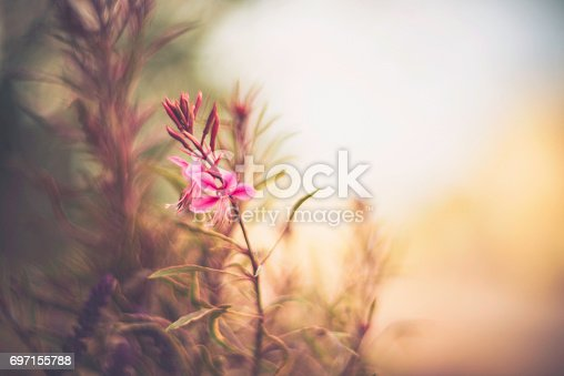 istock Flower Immersion: Summer floral beauties guara and salvia 697155788