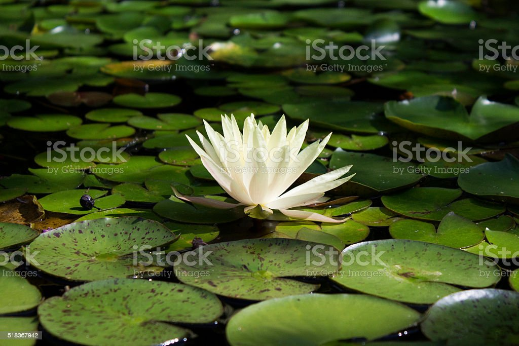Flower in A Pond stock photo