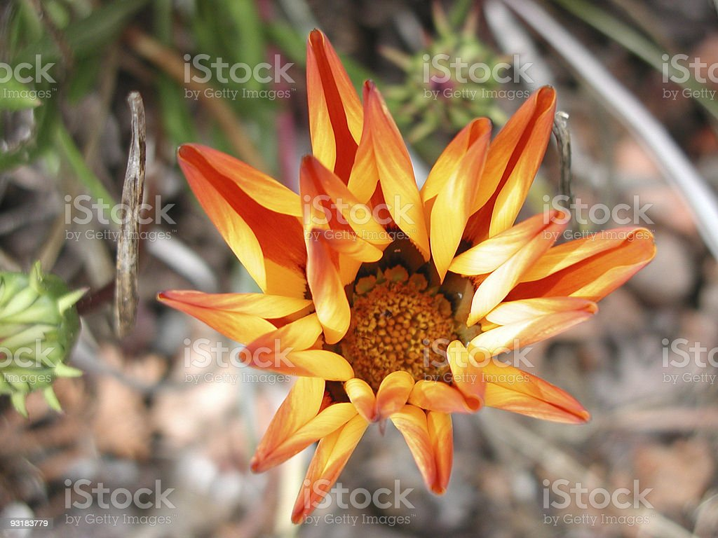 flower in bloom royalty-free stock photo