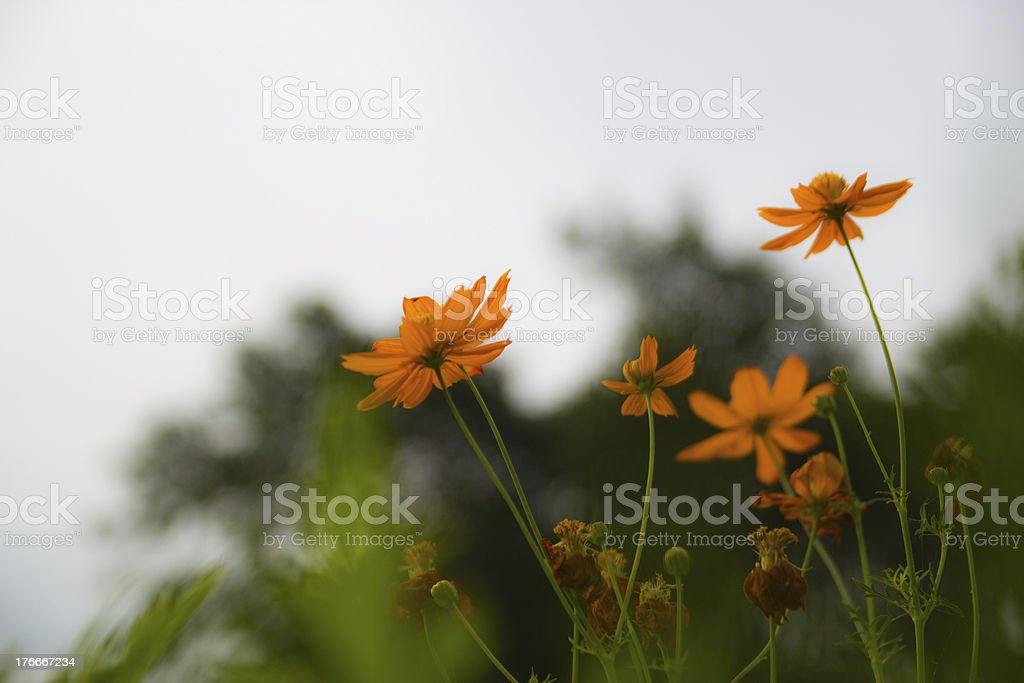 flower in cholburi of thailand royalty-free stock photo