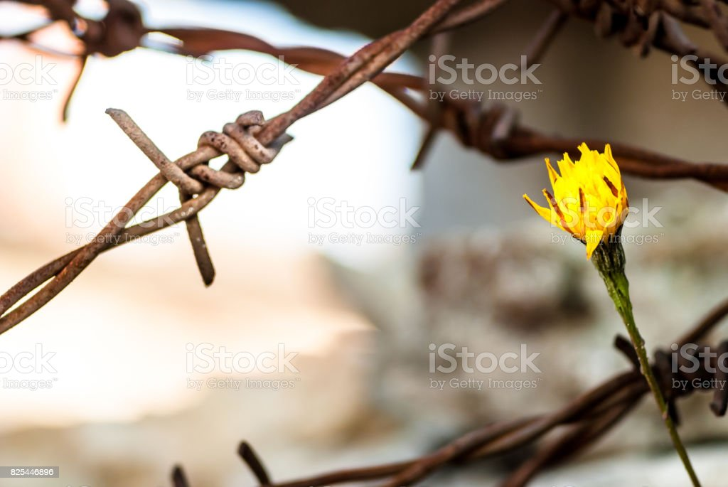 Flower in front of barbed wire as symbol of freedom stock photo