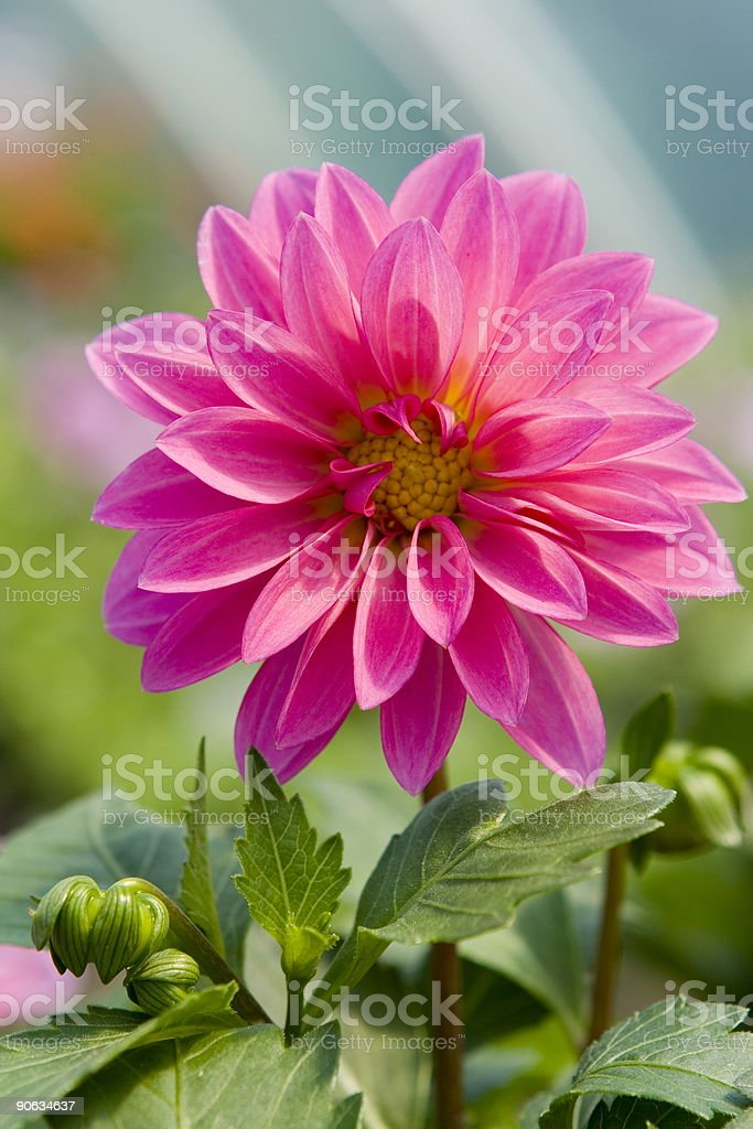 Flower in garden royalty-free stock photo