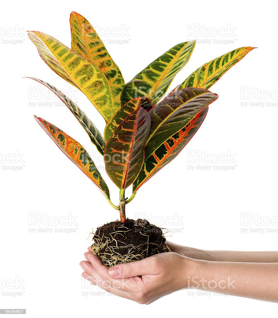 Flower in hands royalty-free stock photo