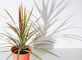 Flower in pot. Dracaena. The shadow of the flower on a white wall