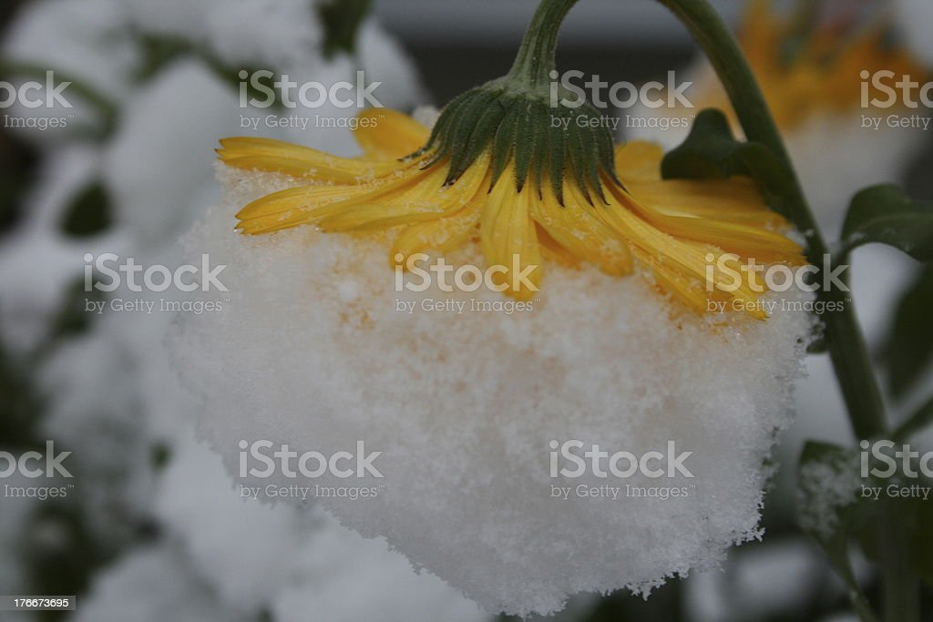 Flower in Snow royalty-free stock photo