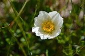 Blume in den Alpen