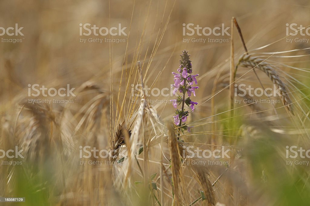 Fiore nel grano stock photo