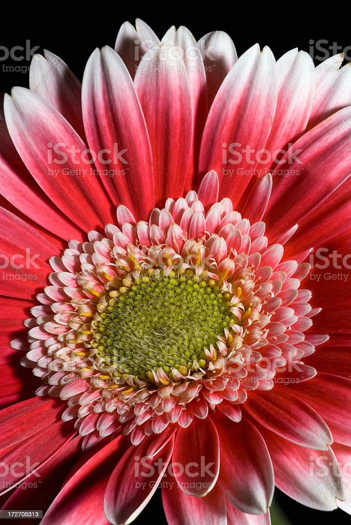 Flower in the Studio royalty-free stock photo