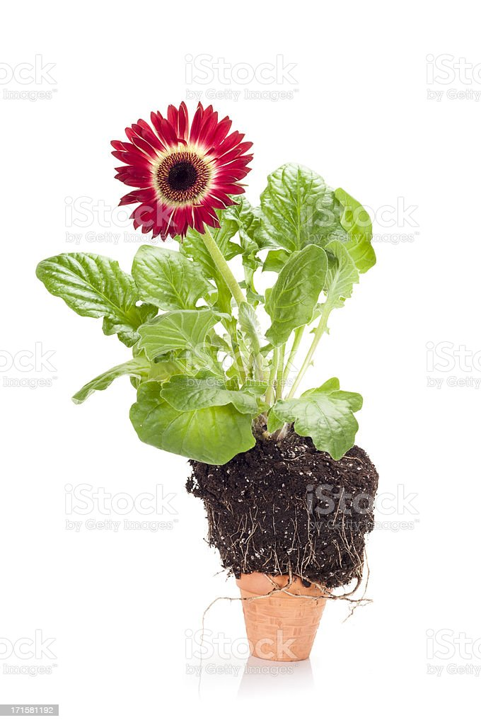 Flower in too small pot royalty-free stock photo