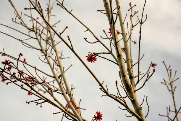 Flower in winter season picture id1299328035?b=1&k=6&m=1299328035&s=612x612&w=0&h=jifzgxjr4mestjvaus53xazhtwrjn0kk6ecftdaxxa0=