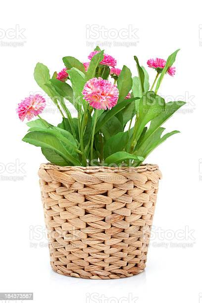 Flower in woven pot isolated on white background picture id184373587?b=1&k=6&m=184373587&s=612x612&h=ipsnrhwgyoqyyj4x dqn6igejlyfcooszwk9ymutqsg=