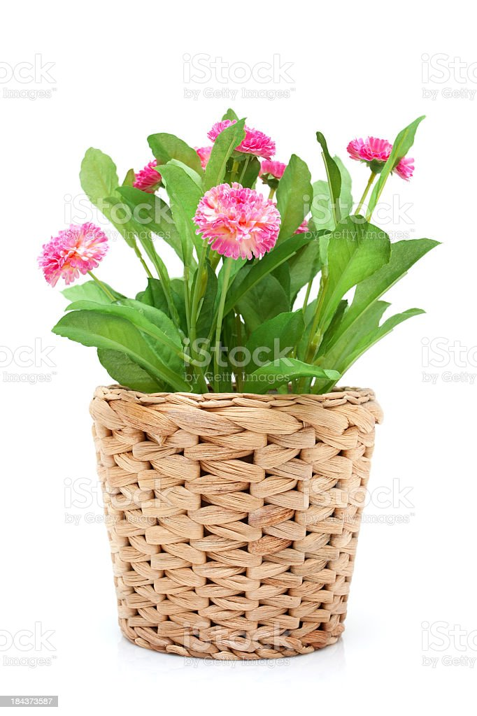 Flower in woven pot isolated on white background stock photo
