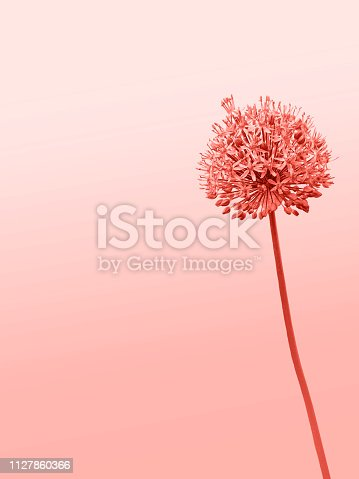 istock Flower is an allium gladiator on a double yellow-turquoise background. 1127860366