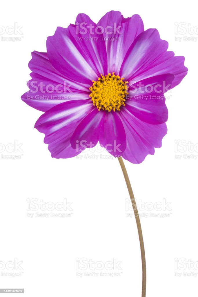 flower isolated on white stock photo