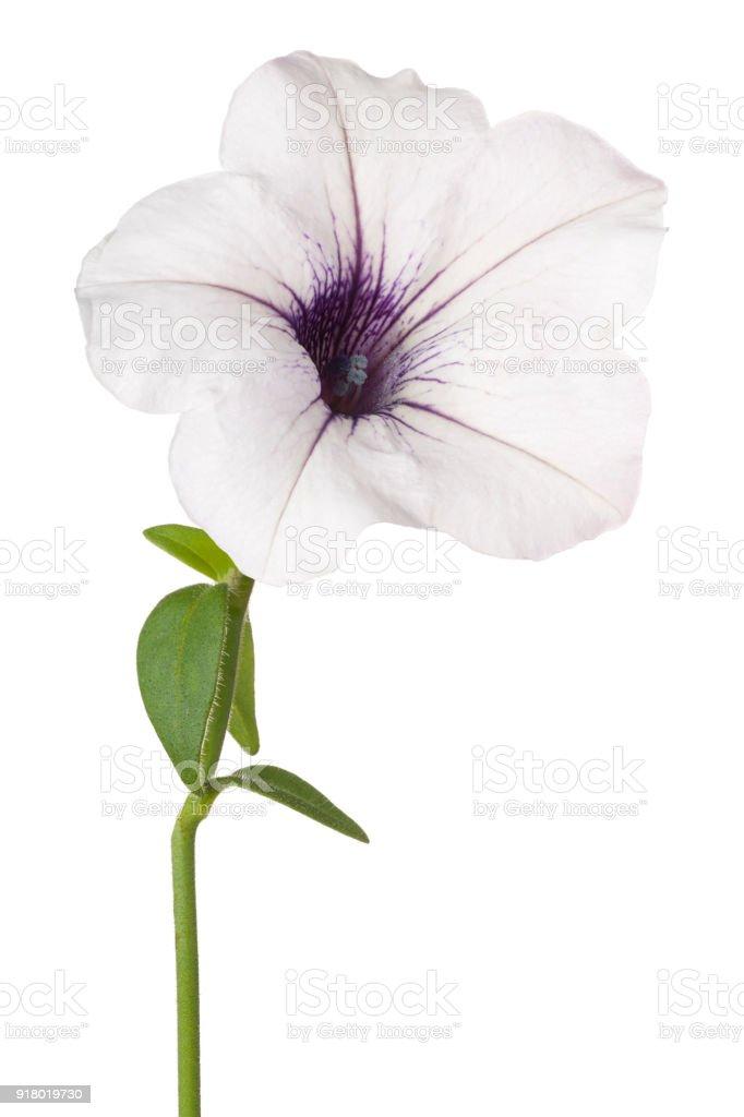 flower isolated on white stock photo
