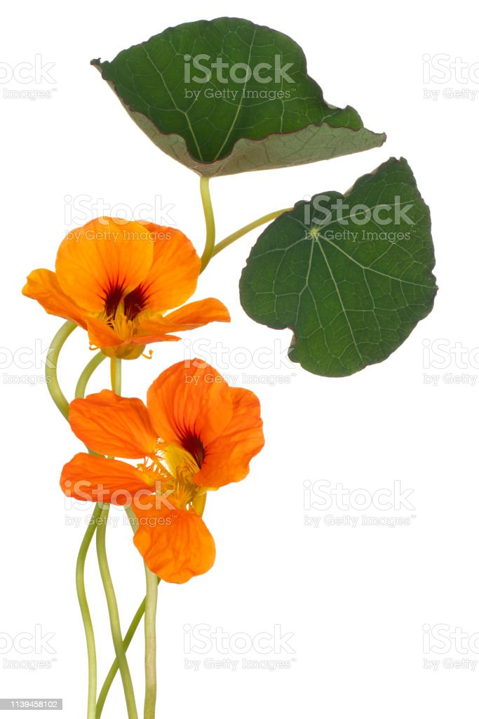 flower isolated royalty-free stock photo