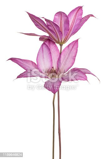 Studio Shot of Magenta Colored Clematis Flowers Isolated on White Background. Large Depth of Field (DOF). Macro. Close-up.