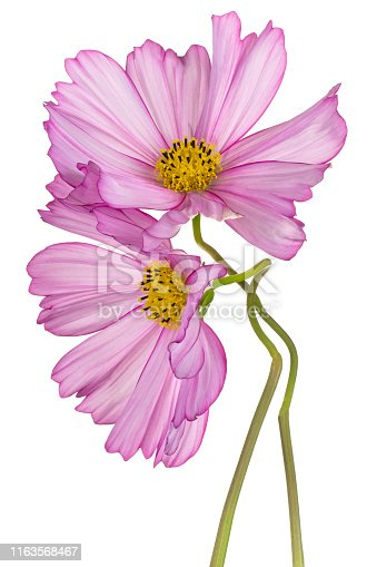 Studio Shot of Pink Colored Cosmos Flowers Isolated on White Background. Large Depth of Field (DOF). Macro. Close-up.