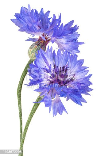Studio Shot of Blue Colored Cornflower Isolated on White Background. Large Depth of Field (DOF). Macro. Close-up.