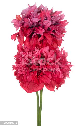 Studio Shot of Red Colored Poppy Flowers Isolated on White Background. Large Depth of Field (DOF). Macro. Close-up.