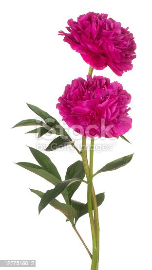 Studio Shot of Magenta Colored Peony Flowers Isolated on White Background. Large Depth of Field (DOF). Macro. Close-up.