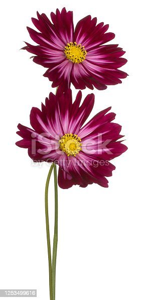 Studio Shot of Magenta Colored Cosmos Flowers Isolated on White Background. Large Depth of Field (DOF). Macro. Close-up.