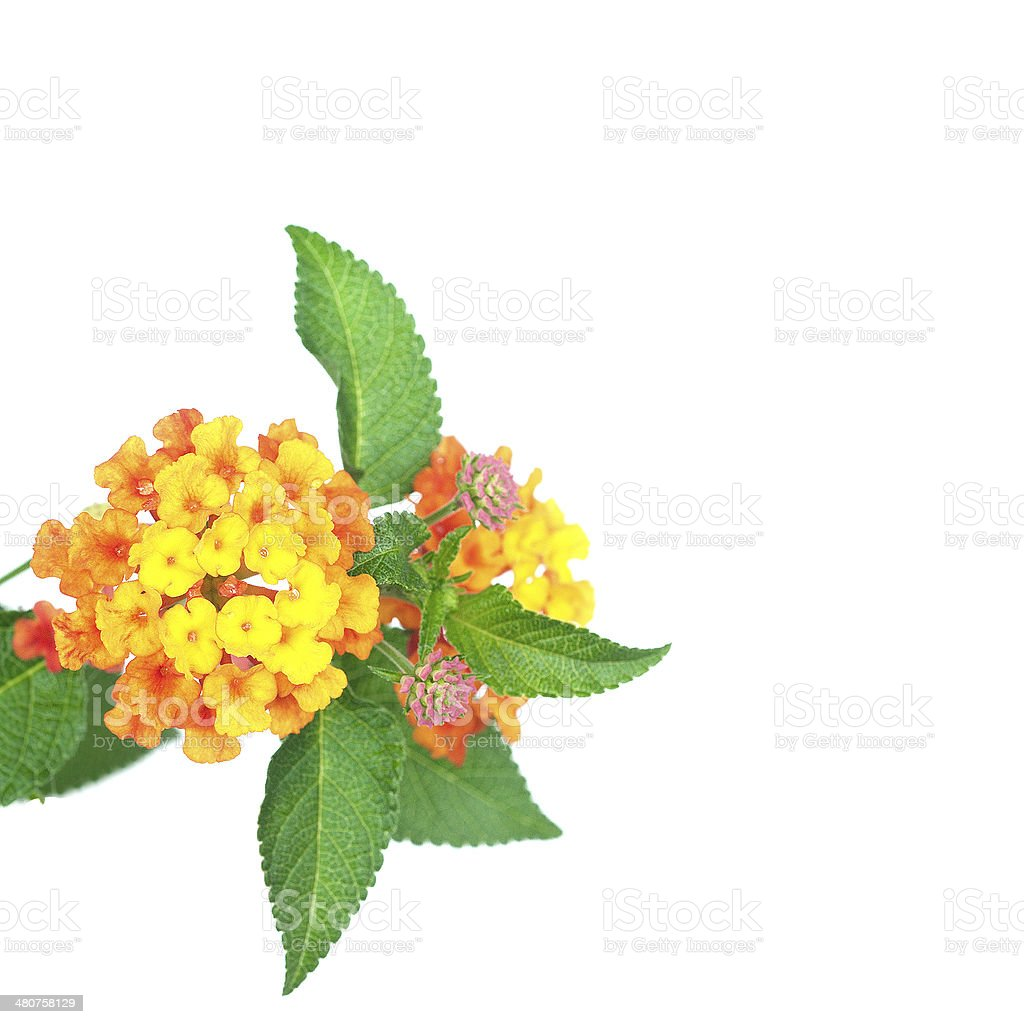 flower Lantana camara isolated on white background stock photo