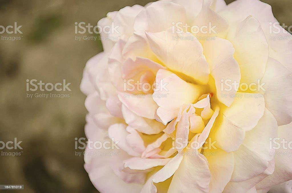 Flower - large rose. royalty-free stock photo