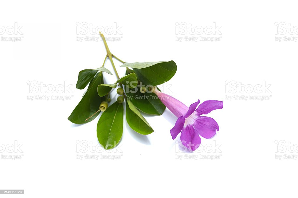 Flower leaves in the white background. foto royalty-free