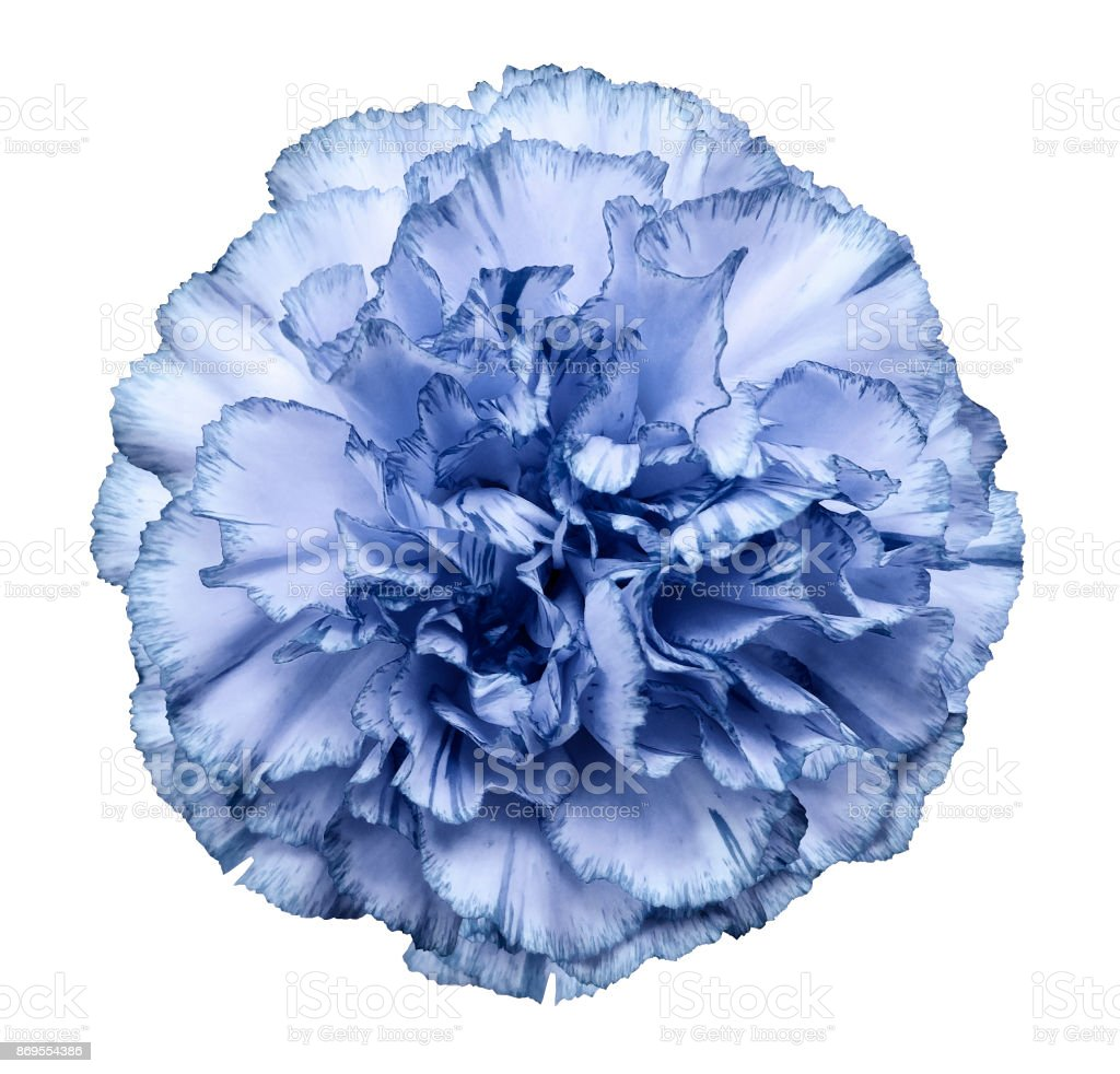 Flower Light Blue Carnation On A White Isolated Background With