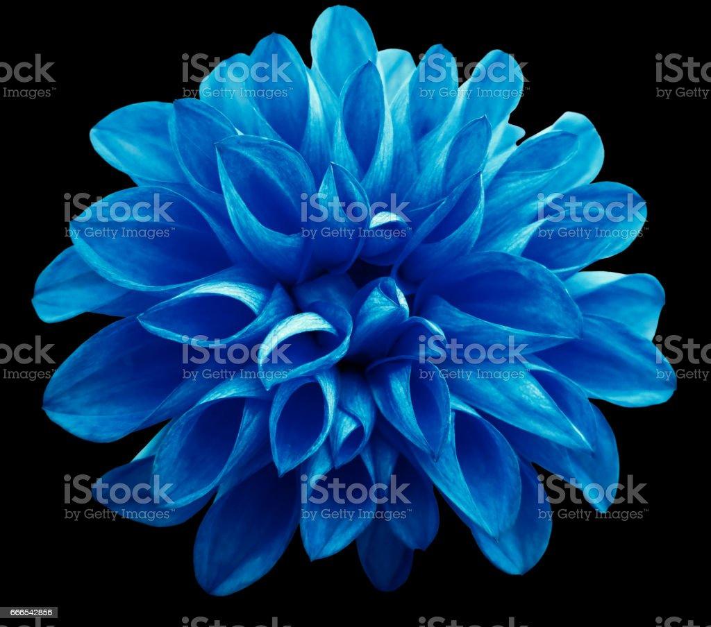 leichte blaue Blume Dahlie auf schwarzem Hintergrund isoliert ist kein Schatten. Geeignet für Designer. Closeup. – Foto