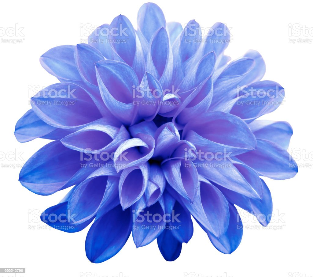 flower  light blue-pink  dahlia  isolated on white background is no shade. Suitable for designers. Closeup. stock photo