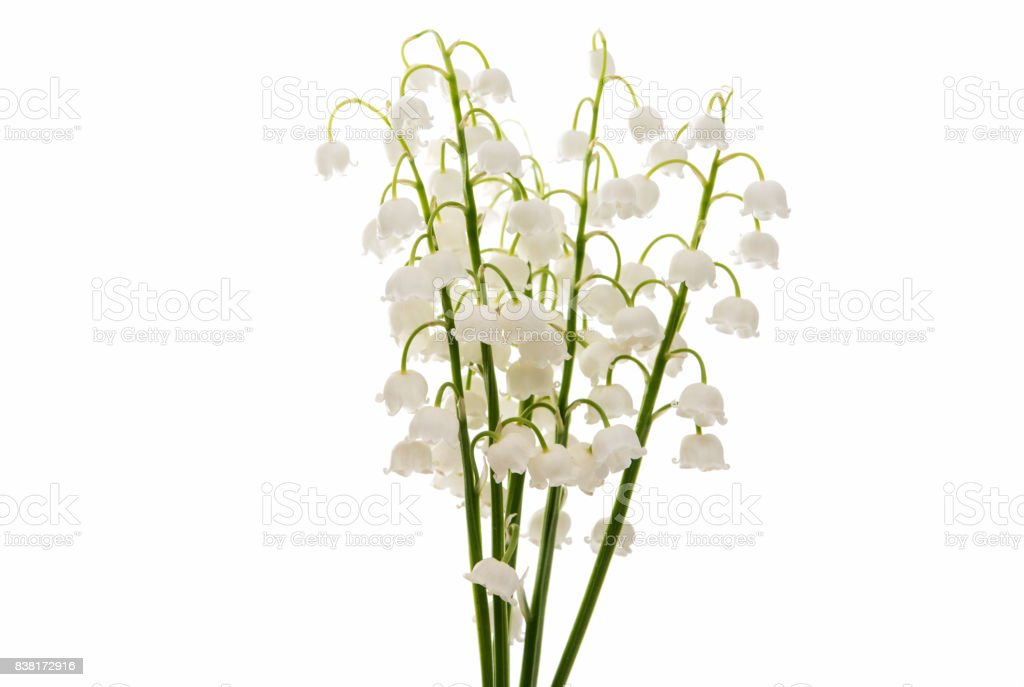 Flower lily of the valley isolated stock photo