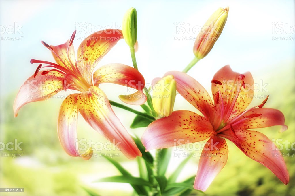 flower lily royalty-free stock photo