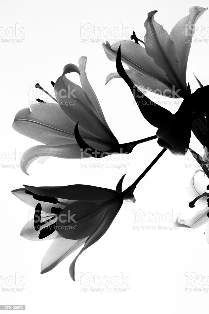 flower lily stock photo