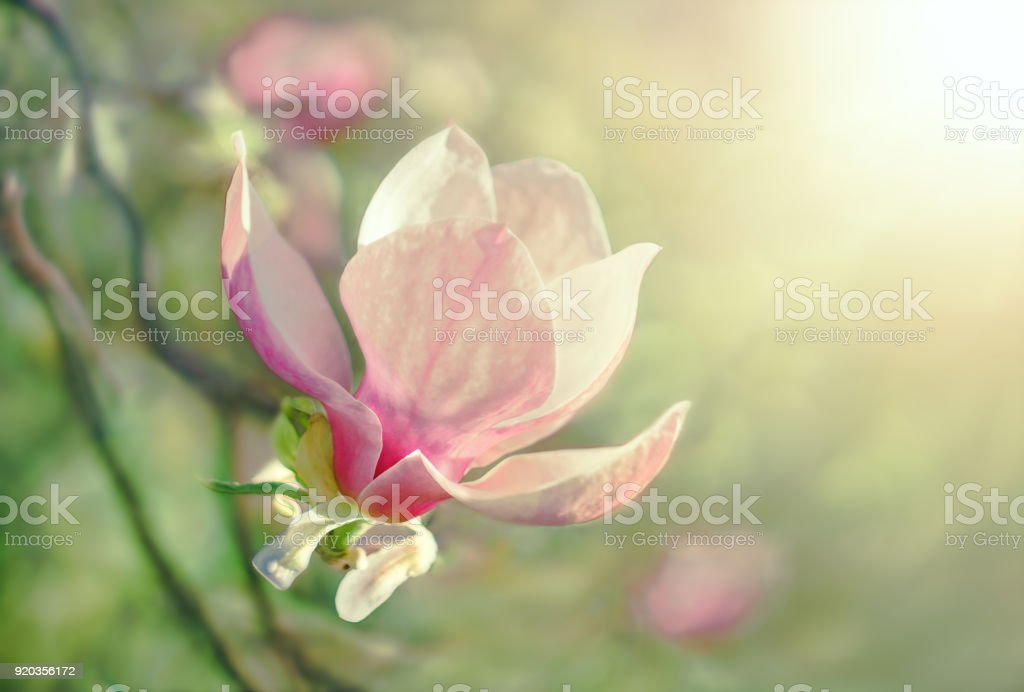 Flower Magnolia flowering against a background of flowers. stock photo