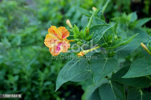 Flower Marvel of Peru, False Jalap, Mirabilis jalapa, don Diego de noche. Yellow and red flower with green leaves perfumed at sunset.