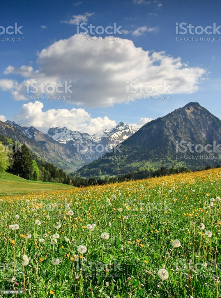 Flower meadow and snow covered mountains. Bavaria, Alps, Allgau, Germany. stock photo