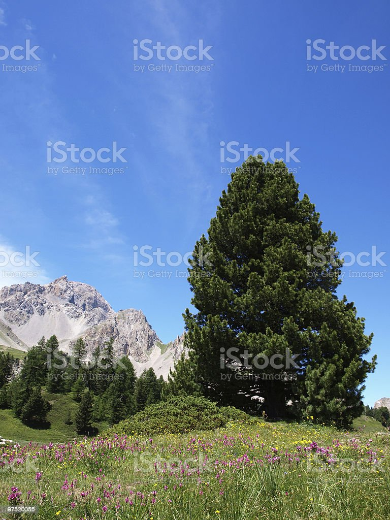flower meadow in the french Alps royalty-free stock photo